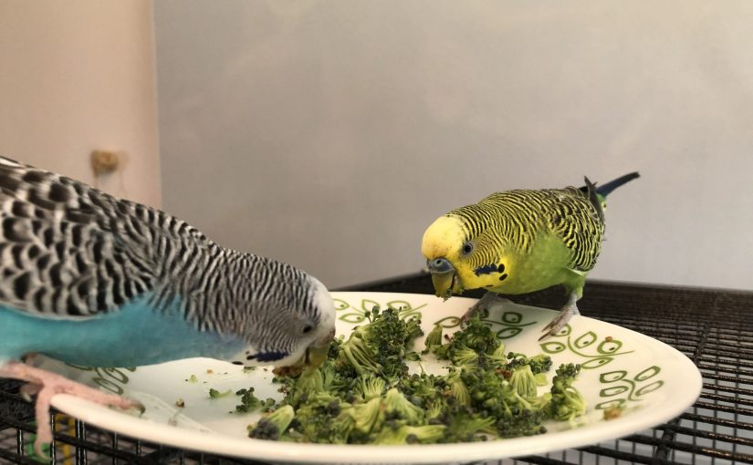 Transitioning parakeets to new food