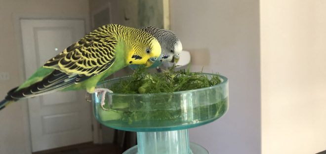 A green budgie and a blue budgie eat fennel fronds from a clear bowl