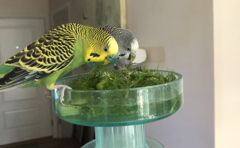 Parakeets and fresh produce – making sure we are stocked year round