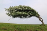 Wind-blown Hawthorn (Crataegus monogyna) tree