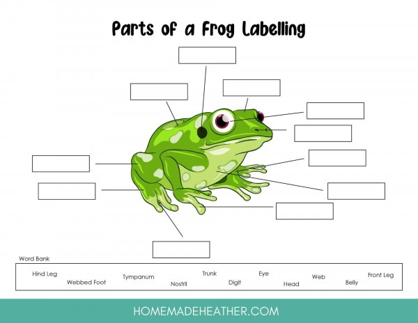Parts of a frog work sheet