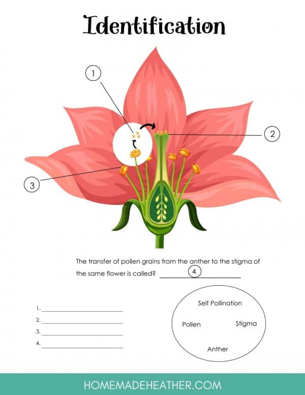 Flower Pollination Printable