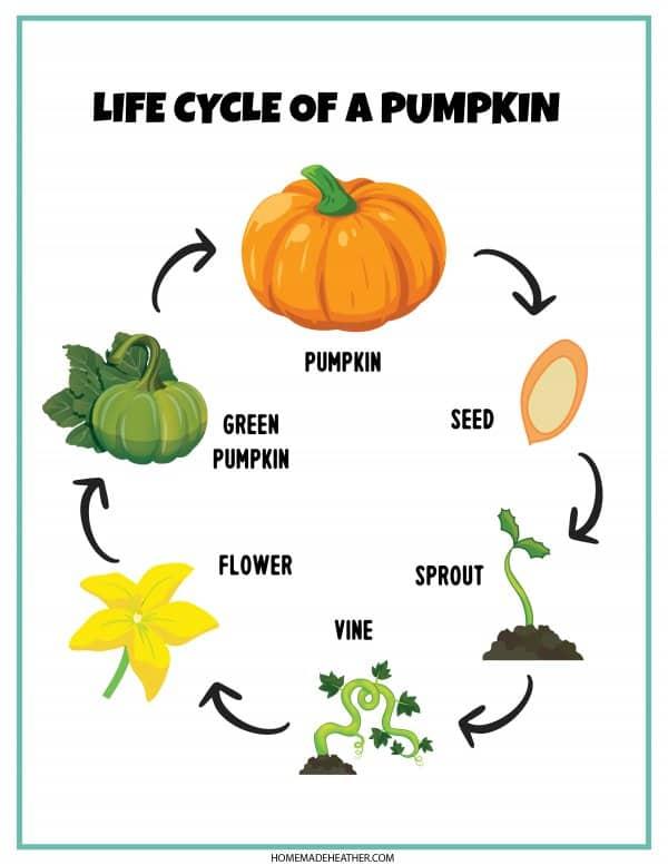 life cycle of a pumpkin printable