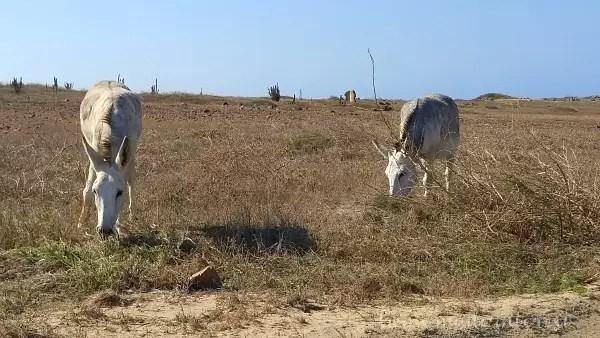 Wild Donkeys Aruba