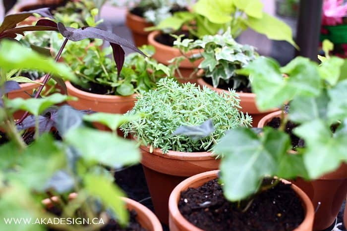 plants vines herbs