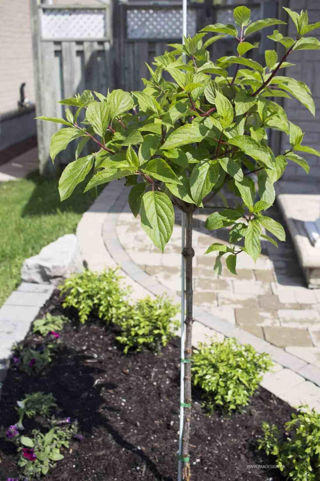 hydrangea standard tree new no flowers yet