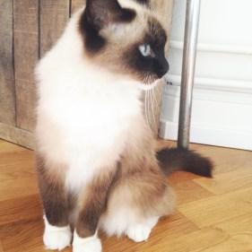 dinah chat croisé sacré de birmanie