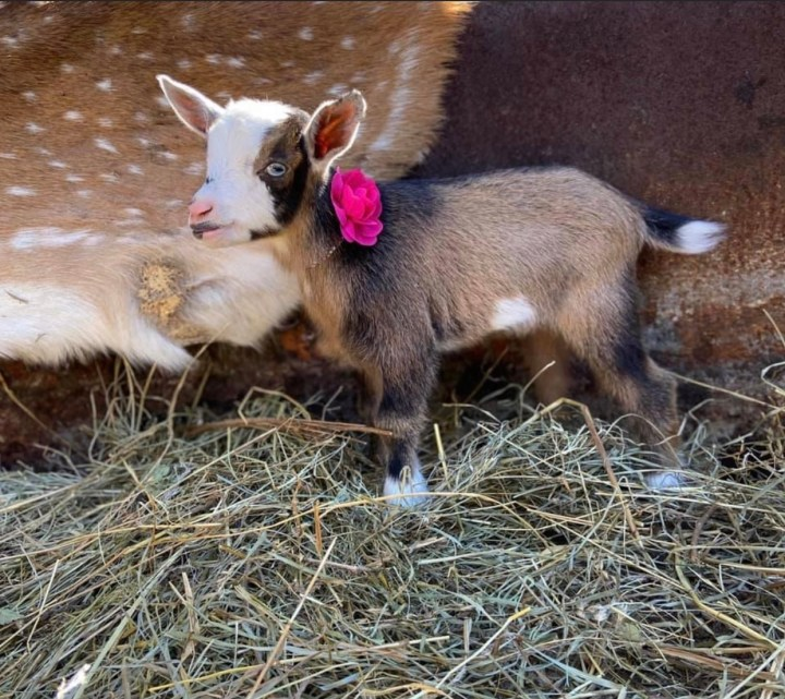 nigerian dwarf goat, dairy goat, baby goat, doeling