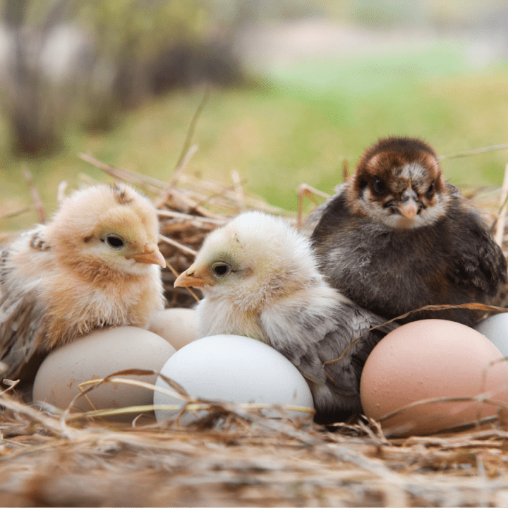 chicks, baby chickens, laying hens, homestead