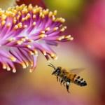 ホメオパシーレメディで救急対策【ハチに刺されたら!】