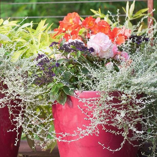 home-outside-planter-design-proven-winners-annuals-begonia-heliotrope-licorice-sweet-potato-vine