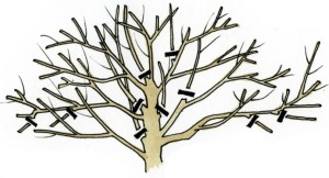 Diagram showing suggested pruning points