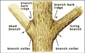 prune trees - where to cut