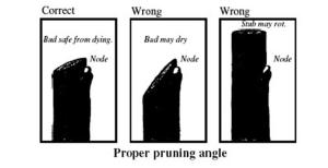 Prne trees - proper angle of cut