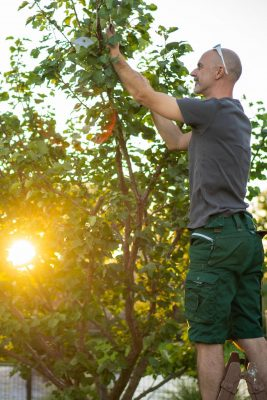 smiling mature adult man standing on wooden ladder in his garden cutting branches of apricot tree on late summer sunny afternoon