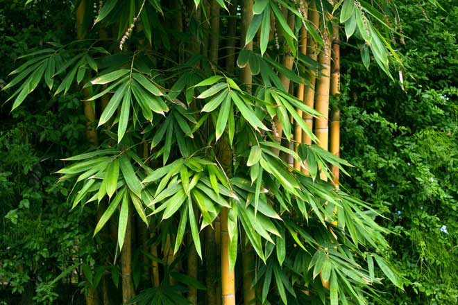 Cluster of Growing Bamboo Trees