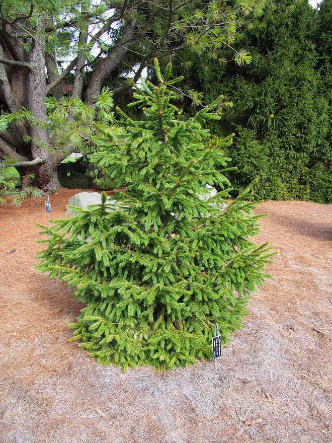 'Perry's Gold' Norway Spruce