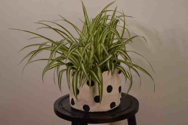 The spider plant shown is a plant that you  can grow in water