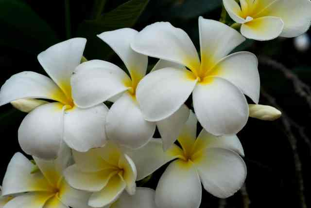 What is the difference between frangipani and plumeria?