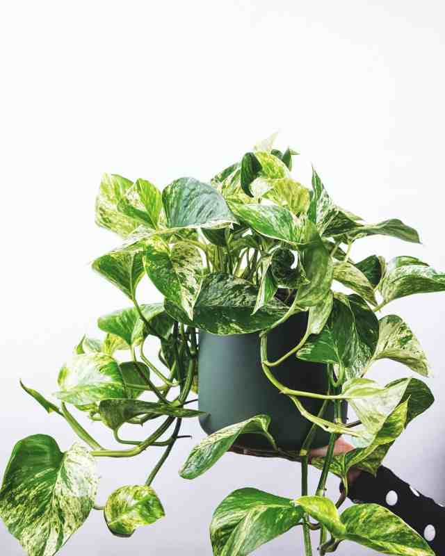 The pothos plant shown is one of various plants that you can grow in water