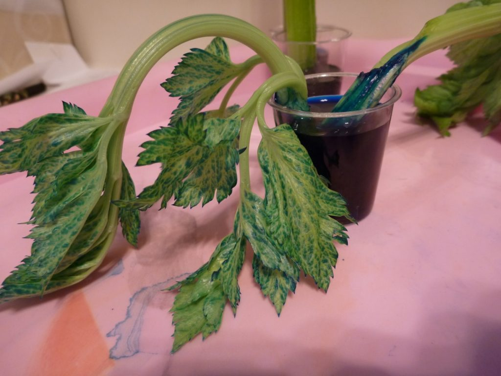 Plant Experiments Colored Carnations And Slurping Celery