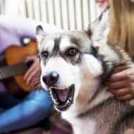 Dog at home, with his friendsMulti ethnic young girls playing with Siberian Husky, in a living room