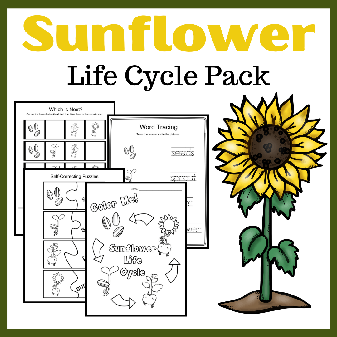 Life Cycle Of A Sunflower Worksheets For Preschool