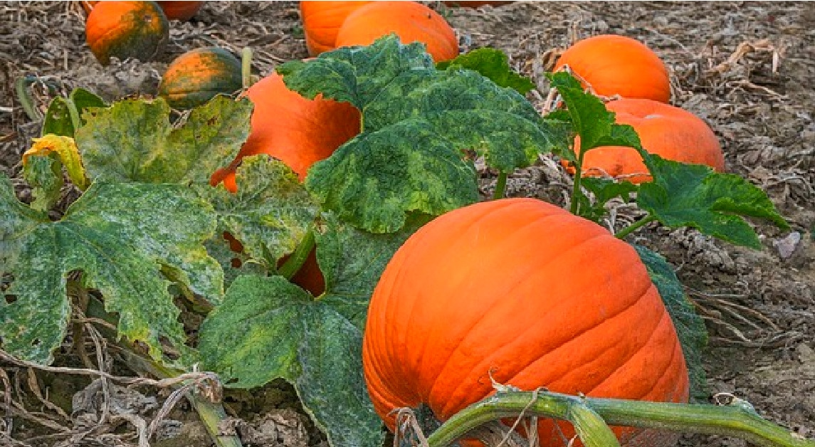 Free Printable Pumpkin Life Cycle Worksheet pumpkins in a pumpkin patch