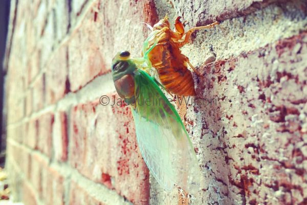 Facts About Cicadas For Kids a cicada emerging from cicada exoskeleton