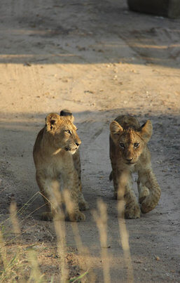 Lion Cubs in the Kruger Park - South Africa
