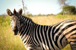 Zebra in het Krugerpark Zuid-Afrika