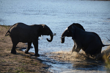 Elephants in the water at Kruger Park - Honeymoon South Africa