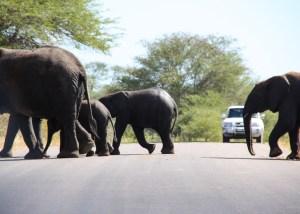 Olifanten in het Krugerpark