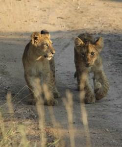 Welpen in het Krugerpark
