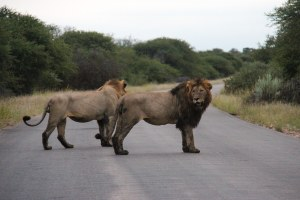 Leeuwen in het Krugerpark - Zuid-Afrika