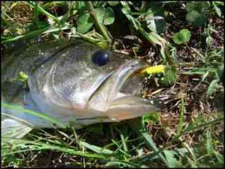 large mouth bass, Building Multi-use Ponds on the Homestead, Where Should a New Pond Go, Benefits of a Multi-use Pond, what fish should be stocked in a pond, multi use pond, homesteading