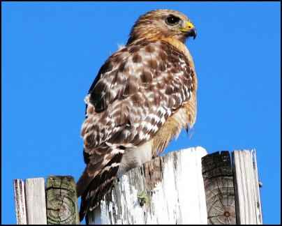 hawk, Building Multi-use Ponds on the Homestead, Where Should a New Pond Go, Benefits of a Multi-use Pond, what fish should be stocked in a pond, multi use pond, homesteading