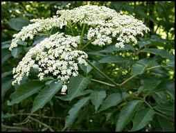 elder tree, elder flower, medicinal herbs, homesteading