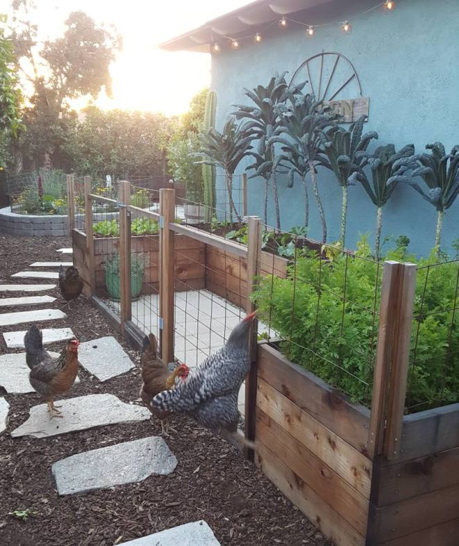 There is a large u-shaped section of 2 foot tall raised garden beds against a blue stucco house wall. In the garden beds, tall kale trees grow several feet tall, all in a line against the blue house. In the foreground, the chickens are investigating the garden but are prevented from entering by a fence. One is leaping in the air to try to eat carrot tops.