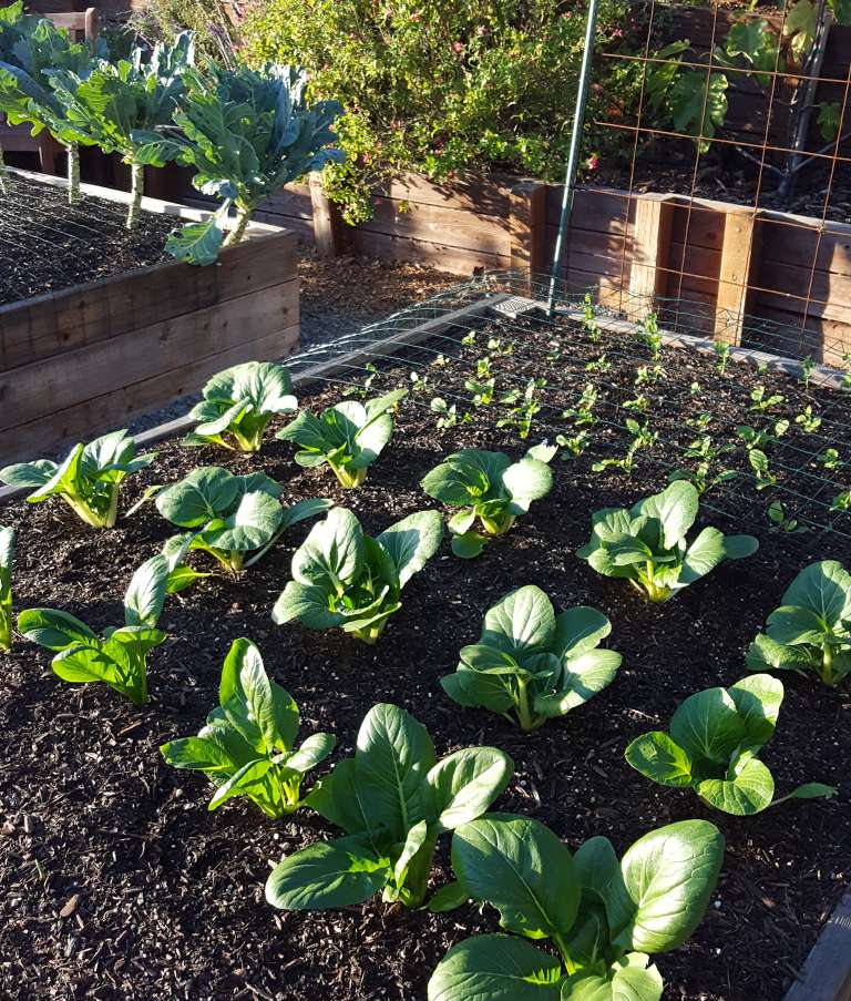 A Garden Bed Full Of Small Plants At Varying Ages. The Larger Plants, Boo