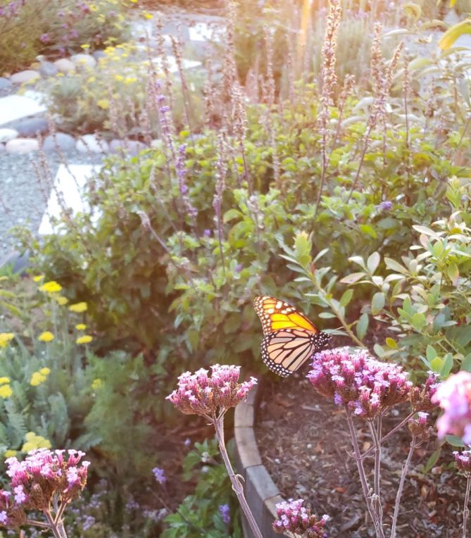 A monarch butterfly sitting in the sun on a purple lollipop verbena, surrounded by other flowering plants like purple sage, yellow yarrow, and lavender.