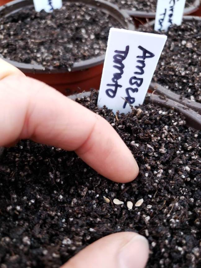 A few small tomato seeds being planted (sowed) in small 4 inch seedling pots, barely covered with soil.