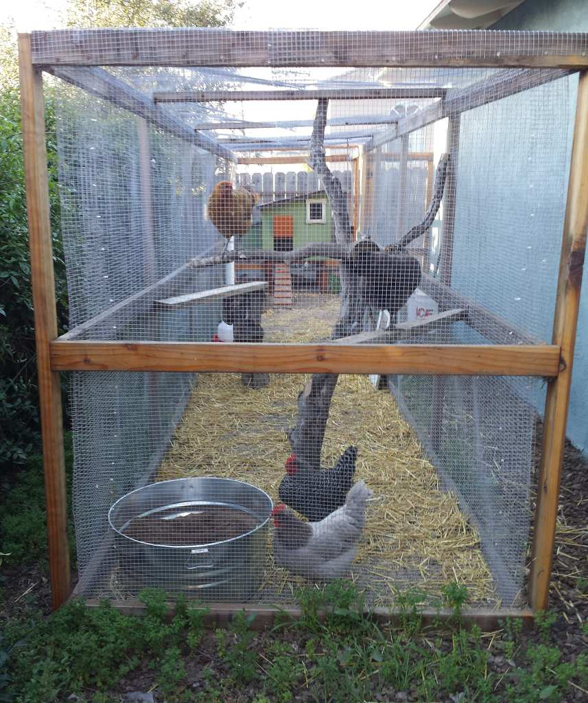 A view from the end of a chicken run. It is very long and narrow, 35 feet by 5 feet. There is a wood frame and metal mesh walls and roof. Four chickens are in the run, perching on a variety of tree branches and two-by-four boards.