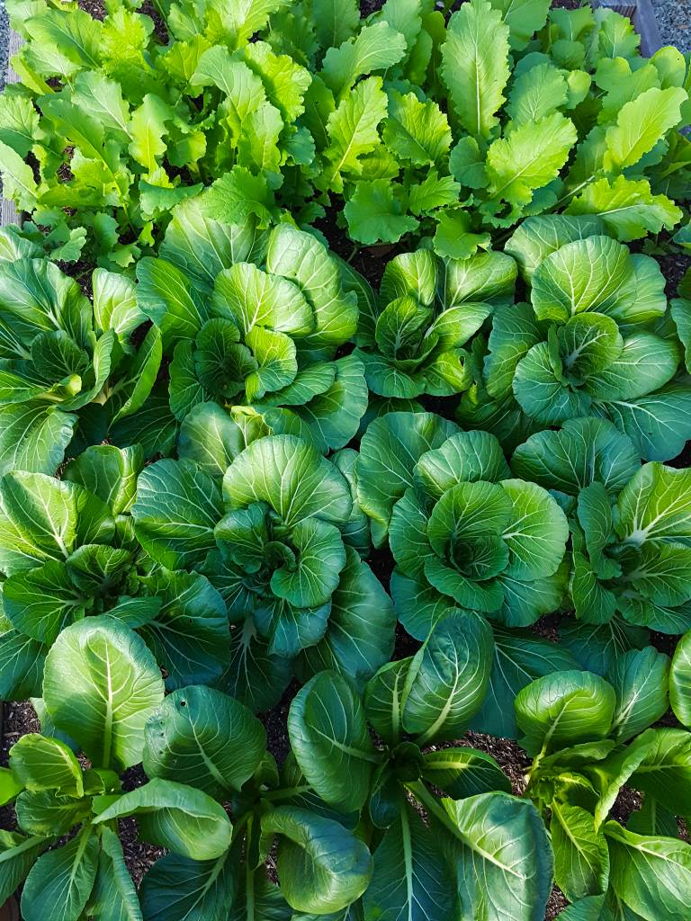 A raised garden bed overflowing with various healthy looking homegrown greens,m like bok choy, mustard greens, and turnips.