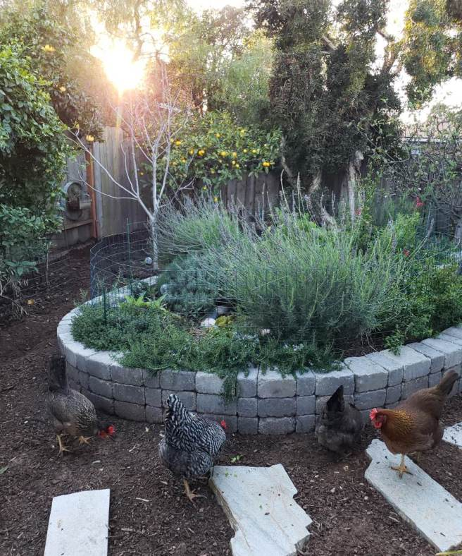 A stone raised bed full of flowering shrubs, with chickens in the foreground and fruit trees in the background.