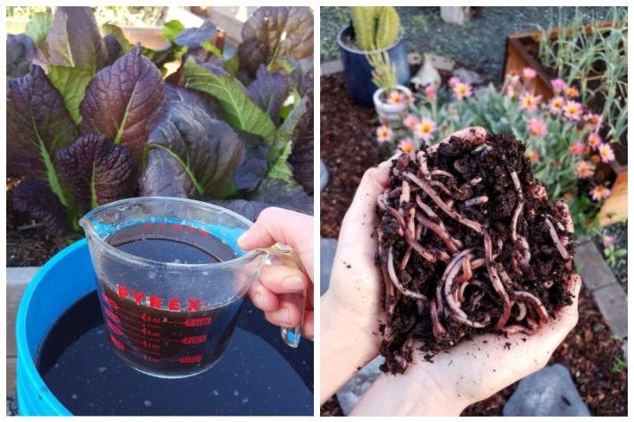 One photo shows a hand holding a liquid measuring cup, which is full of compost tea, over a bucket full of the same compost tea. The gardener is about to pour it onto the garden bed of leafy greens in the background. The second photo shows a close up of two cupped hands, full of red worms, with garden beds and flowers in the background.