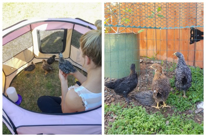 Two images in one. On the left, DeannaCat is sitting inside a pink dog playpen on the grass with four chicks that are about 2 weeks old. She is holding one, and the others are exploring on the ground. On the right, the same four chicks are a couple weeks older and larger. They're playing in a larger area with wire fencing around it.