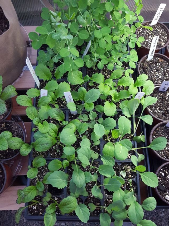 Looking down on trays of very green, healthy looking seedings on a wooden bench inside a greenhouse.