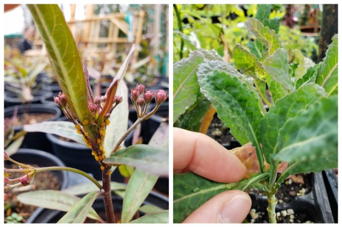 Two images of nursery seedlings. The plant on the left has obvious yellow aphids all over it. The one on the right is a small kale seedling, and my hands are pulling open the center leaves to check the hidden middle area.