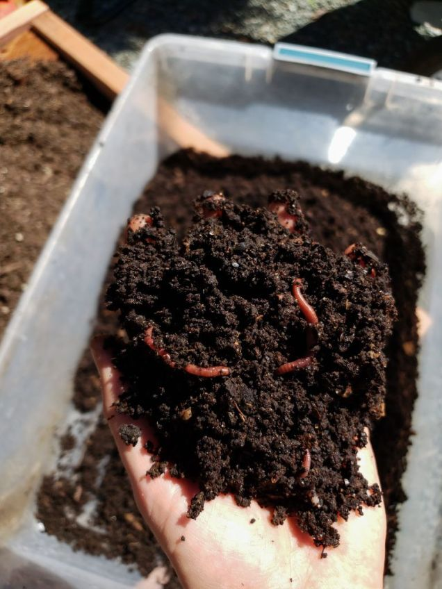 A hand holding a handful of rich looking soil, which is actually worm castings. A few red worms are in with the worm castings. In the background, there is a whole tub of worm castings,